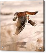 Kestral In Flight Acrylic Print
