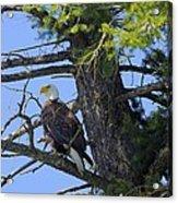 Kettle River Eagle 2012 Acrylic Print
