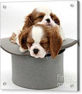 King Charles Spaniel Puppies Acrylic Print