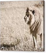 King Of Cats In Sepia Acrylic Print