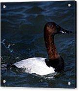 King Of Ducks Acrylic Print