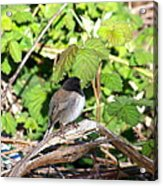 King Of The Blackberry Brier Acrylic Print