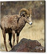 King Of The Rock Acrylic Print