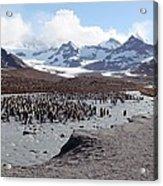 King Penguin Breeding Colony Acrylic Print