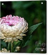King Rose Strawflower Acrylic Print