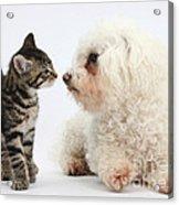 Kitten & Pup Confrontation Acrylic Print