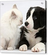Kitten And Border Collie Pup Acrylic Print