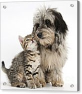 Kitten And Daxie-doodle Puppy Acrylic Print