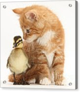 Kitten And Duckling Acrylic Print