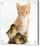 Kitten And Ducklings Acrylic Print