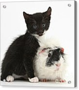 Kitten And Guinea Pig Acrylic Print