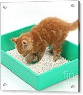 Kitten And Litter Tray Acrylic Print