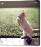 Kitten Catches Feather Toy Acrylic Print