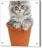 Kitten In Pot Acrylic Print