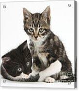 Kitten Pals Acrylic Print