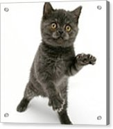 Kitten Reaching Acrylic Print