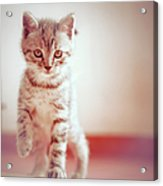 Kitten Walking On Floor Acrylic Print by Alberto Cassani