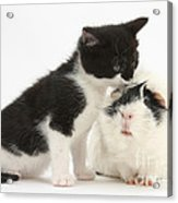 Kitten With Guinea Pig Acrylic Print