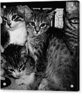 Kittens Corner Acrylic Print by Christy Leigh