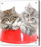 Kittens In A Food Bowl Acrylic Print