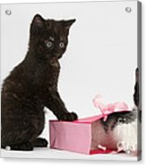 Kittens Playing With Birthday Gift Bag Acrylic Print