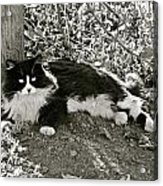 Kitty In A Vineyard Acrylic Print