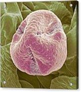Kiwi Fruit Pollen Grain, Sem Acrylic Print by Steve Gschmeissner