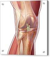 Knee Anatomy Acrylic Print