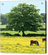 Knee High In Buttercups Acrylic Print