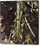 Knotted Wrack (ascophyllum Nodosum) Acrylic Print