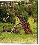Knotty Tree Acrylic Print