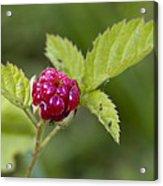 Knox Berry Farms Boysenberry Fruit Acrylic Print