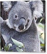 Koala In Tree Acrylic Print