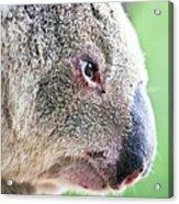 Koala Profile Portrait Acrylic Print by Johan Larson