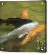 Koi Fish 05 Acrylic Print