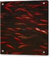 Koi Fish In China Acrylic Print