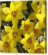 Kolpakowskis Tulip Tulipa Acrylic Print