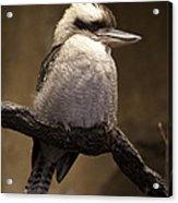 Kooky The Kookaburra Acrylic Print