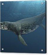 Kronosaurus Queenslandicus Swimming Acrylic Print