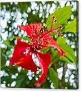 La Cayena-hibiscus Rosa-sinensis Acrylic Print