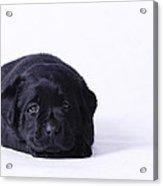 Lab Puppy Acrylic Print