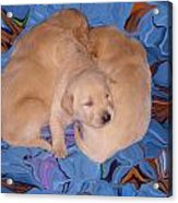 Lab Pups 2 Acrylic Print