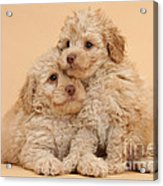 Labradoodle Puppies Acrylic Print