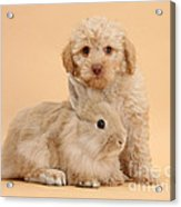 Labradoodle Puppy With Rabbit Acrylic Print