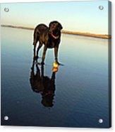 Labrador And Orange Acrylic Print