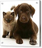 Labrador Pup And Birman-cross Kitten Acrylic Print