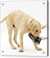 Labrador X Golden Retriever Puppy Acrylic Print