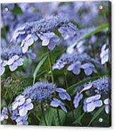 Lace Cap Hydrangeas In Bloom Acrylic Print