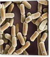 Lactobacillus Bacteria, Sem Acrylic Print by Dr Kari Lounatmaa