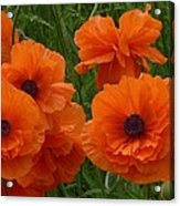 Lacy Poppies Acrylic Print